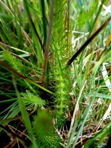Whorled Caraway stems