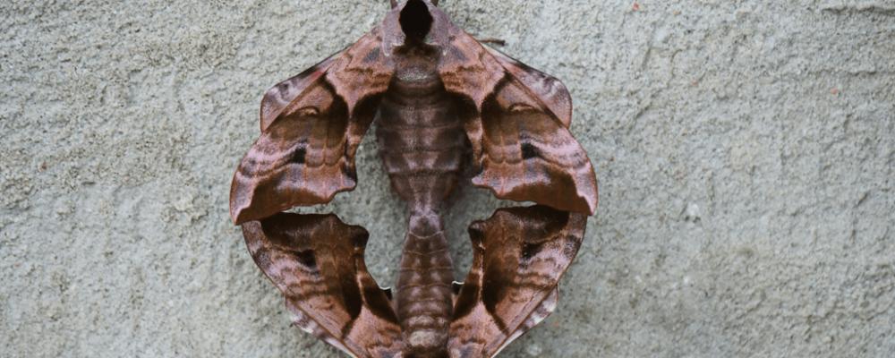 Two Eyed-hawk moths, mating