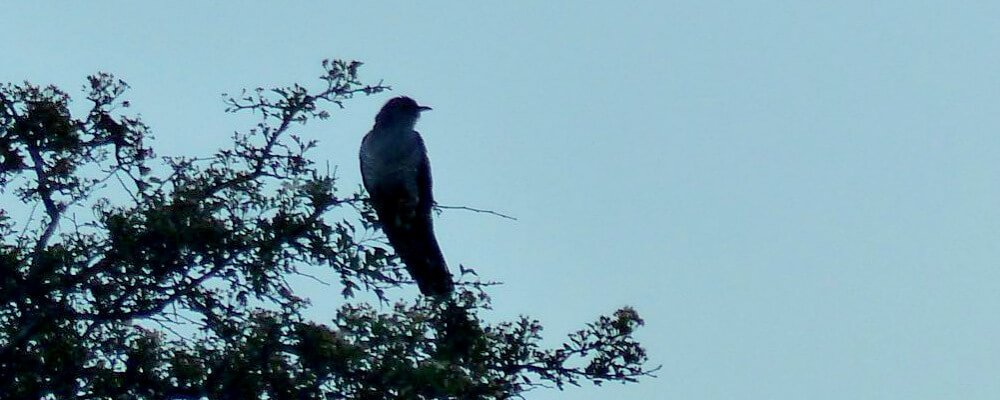 Cuckoo in a tree against the sky
