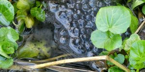 First frogspawn of 2020